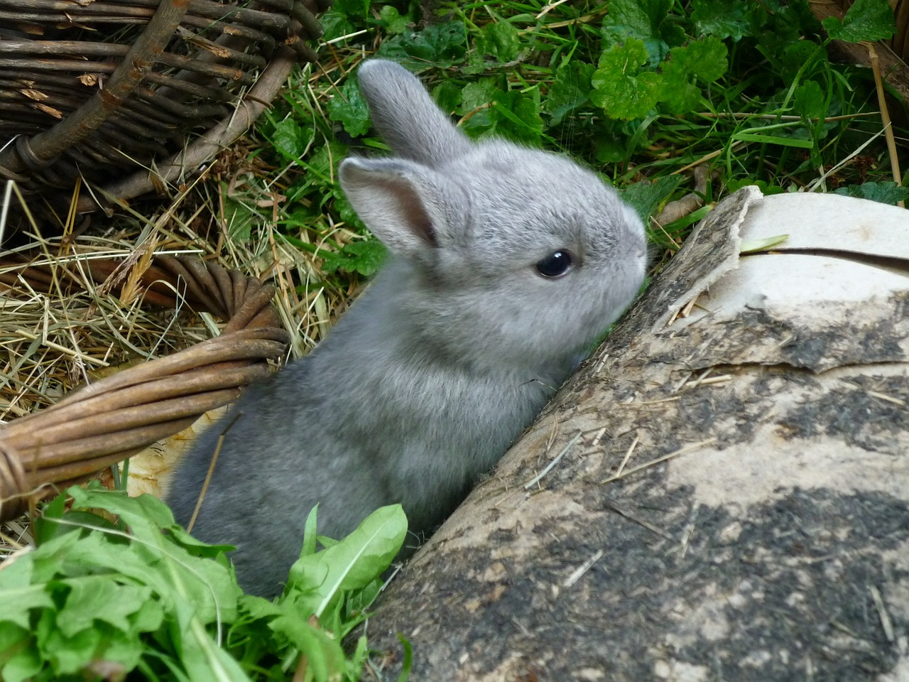 keeping dwarf rabbits as pets personal pet services